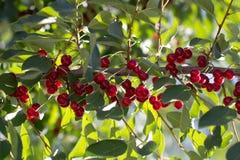 Kirschen auf dem Baum in der Natur Stockfotos
