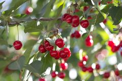 Kirschen auf dem Baum in der Natur Lizenzfreie Stockbilder