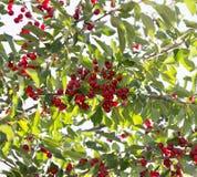 Kirschen auf dem Baum in der Natur Stockfotografie