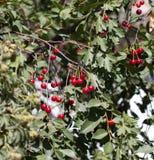 Kirschen auf dem Baum in der Natur Stockfoto