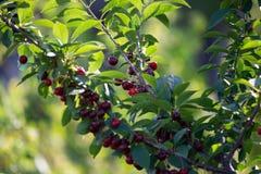 Kirschen auf einer Niederlassung eines Obstbaumes im sonnigen Garten Bündel der frischen Kirsche auf Niederlassung in der Sommers Lizenzfreies Stockbild