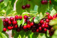Kirschen auf einer Niederlassung eines Obstbaumes im sonnigen Garten Bündel der frischen Kirsche auf Niederlassung in der Sommers Lizenzfreies Stockfoto