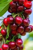 Kirschen auf einer Niederlassung eines Obstbaumes im sonnigen Garten Bündel der frischen Kirsche auf Niederlassung in der Sommers Stockfotos