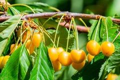 Kirschen auf einer Niederlassung eines Obstbaumes im sonnigen Garten Bündel der frischen Kirsche auf Niederlassung in der Sommers Lizenzfreie Stockfotos