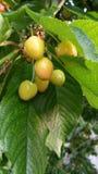 Kirschen, die auf Baum reifen Lizenzfreie Stockbilder
