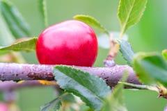 Kirschen, die auf der Niederlassung im Garten, die natürliche Umwelt wachsen Stockfoto