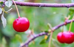 Kirschen, die auf der Niederlassung im Garten wachsen Lizenzfreie Stockbilder