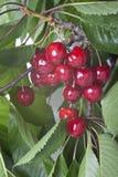 Kirschen, die am Baum mit Blättern hängen Stockfotografie