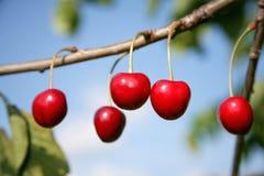 Kirschen im Garten Lizenzfreie Stockfotografie