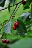 Kirschfrüchte auf dem Baum mit Blättern lizenzfreies stockbild
