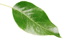 Kirschgrünes Blatt lokalisiert auf Weiß Stockbild