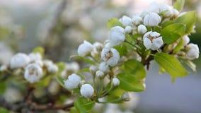 Kirschniederlassung in der Blüte stock video footage
