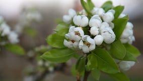 Kirschniederlassung in der Blüte stock footage