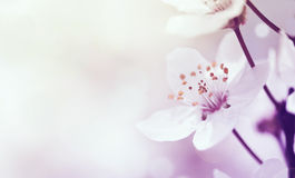 Kirschniederlassung in der Blüte stockfoto