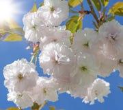 Kirschniederlassung mit blühenden Blumen des Weiß stockfoto