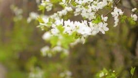Kirschpflaumenblume, die durch Fokusfläche mit unscharfem träumerischem Hintergrund sich bewegt stock footage