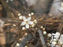 Kirschpflaumenblumen und -knospen Stockbilder
