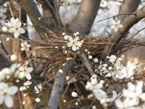 Kirschpflaumenblumen und -knospen Lizenzfreies Stockfoto