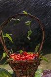 Kirschtomaten in einem Korb Stockbild