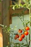 Kirschtomaten im Gewächshaus Stockfoto