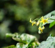 Kirschtomatenblumen Stockbild