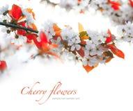 Kirschzweige in der Blüte Stockfotografie