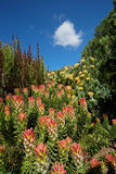 Kirstenbosch植物园 免版税库存照片