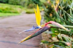Kirstenbosch Botanical Gardens in Cape Town – South Africa. Sterlizia at Kirstenbosch Botanical Gardens in Cape Town – South Africa stock photography