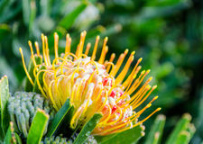 Kirstenbosch Botanical Gardens in Cape Town – South Africa Royalty Free Stock Photos