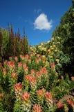 Kirstenbosch botanical gardens Royalty Free Stock Photo