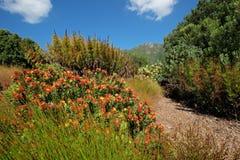 Kirstenbosch botanical gardens Royalty Free Stock Images