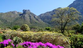 Kirstenbosch Botanical Gardens early flower season. Kirstenbosch Botanical Gardens is in the top six of the most popular visits in Cape Town with the locals and Royalty Free Stock Photos