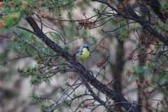 Kirtland的鸣鸟(刚毛虫类kirtlandii) 免版税库存图片