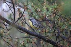 Kirtland的鸣鸟(刚毛虫类kirtlandii) 免版税图库摄影