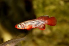 Kisaki Killifish Nothobranchius flammicomantis Killi aquarium fish royalty free stock images