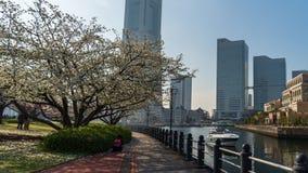 Kishamichi散步时间间隔有樱花的在Minato Mirai,横滨,日本 股票视频