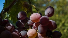 Kishmish grapes. Kishmish is a sort of grape orginally made in Moldova. It is very popular in my country too. It is more a desert sort than for wine production Stock Image