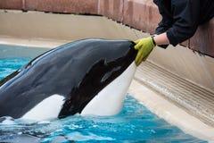 Kiska a baleia de assassino com instrutor - Marineland Canadá Foto de Stock Royalty Free