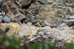 Kiskadee捕蝇器在埃斯特角 库存照片