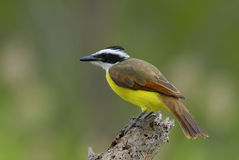 Kiskadee Flycatcher. On favorite perch Stock Images
