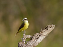 Kiskadee Flycatcher. Perched on old stump  looking for its prey Stock Photos