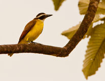 Kiskadee grand photo stock