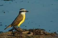Kiskadee grand Photos stock