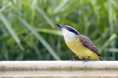 Kiskadee grand Photo libre de droits