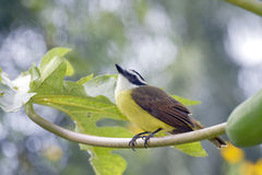 Kiskadee grand Images libres de droits