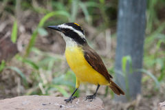 Kiskadee near Forest in Texas Stock Image