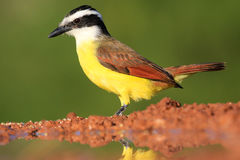 Kiskadee. Standing by a water hole Royalty Free Stock Photo
