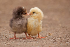 The kiss. A sweet moment between the two little chicken, one of them yellow and the other one brown Stock Images