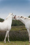 Kiss. Ing two white Camargue horses Royalty Free Stock Images