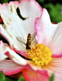 Kiss. From the bee. Colorful nature, flowers and insects Stock Photos
